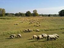 Schafe am Oderufer